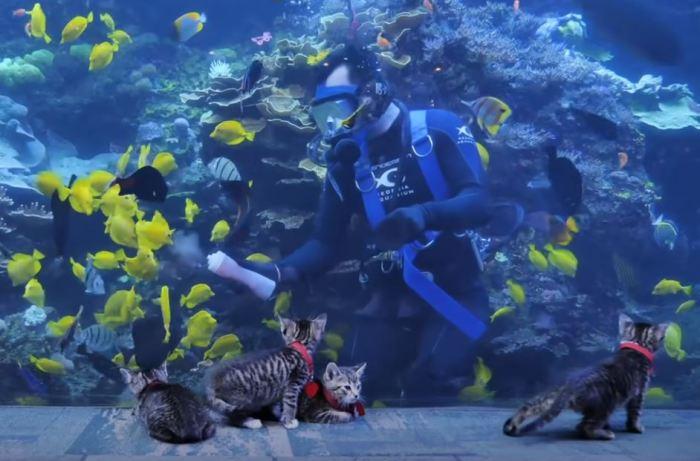 Котята наблюдают за сотрудником, который кормит рыб.