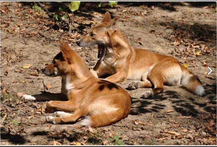 Скорее всего, это самые древние собаки./Фото:zoozlin.eu