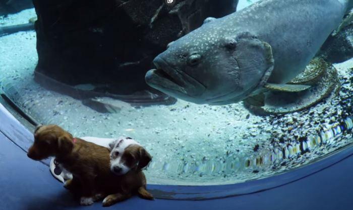 Щенки совсем не боятся гигантских рыб.