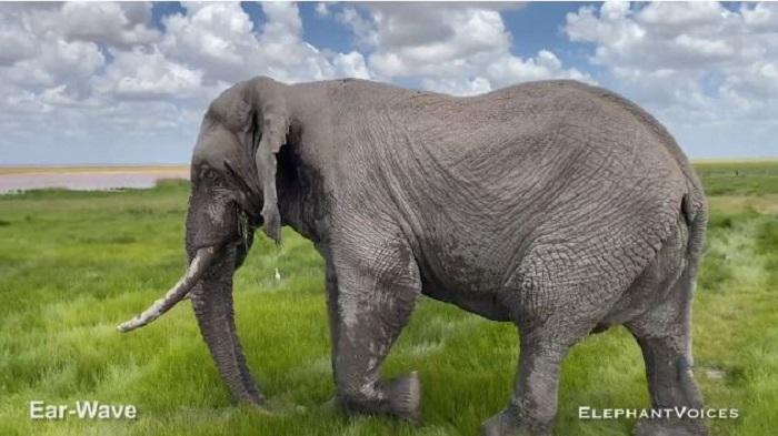 Слон на просторах Национального парка Амбосели, Кения. /Видеокадр