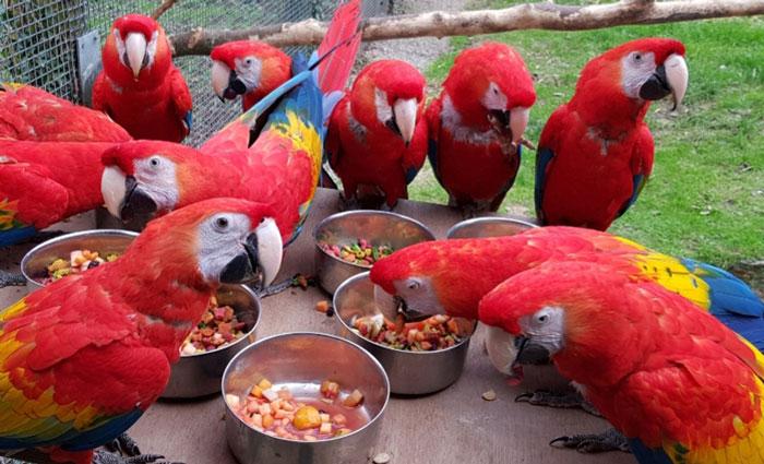 Общительным попугаям скучновато без посетителей.