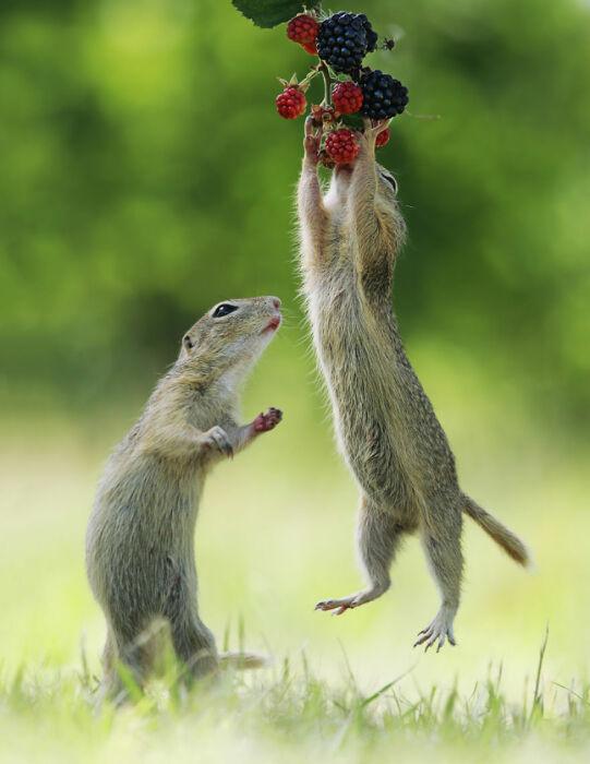 Добыть ягоды непросто. Иногда нужно очень высоко прыгать .