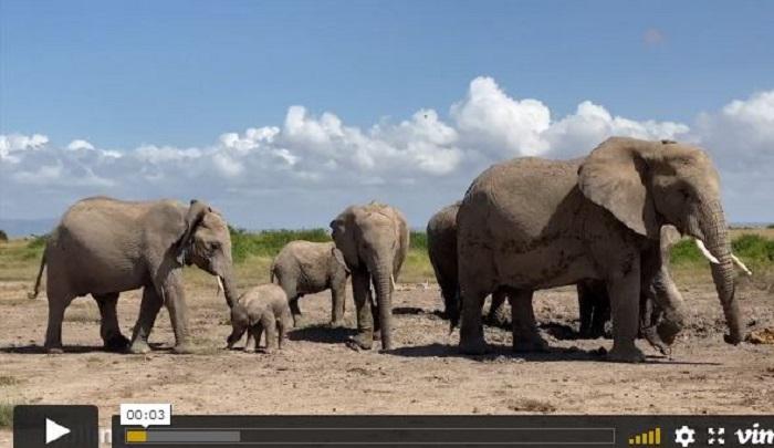 Мать все время подгоняет слоненка и не хочет, чтобы посторонние в это вмешивались. /Видеокадр.