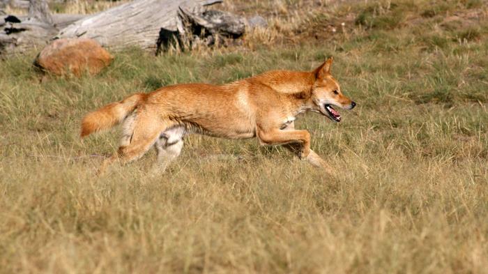 Дикий зверь остается диким зверем даже в компании человека. /Фото:petshoptop.com