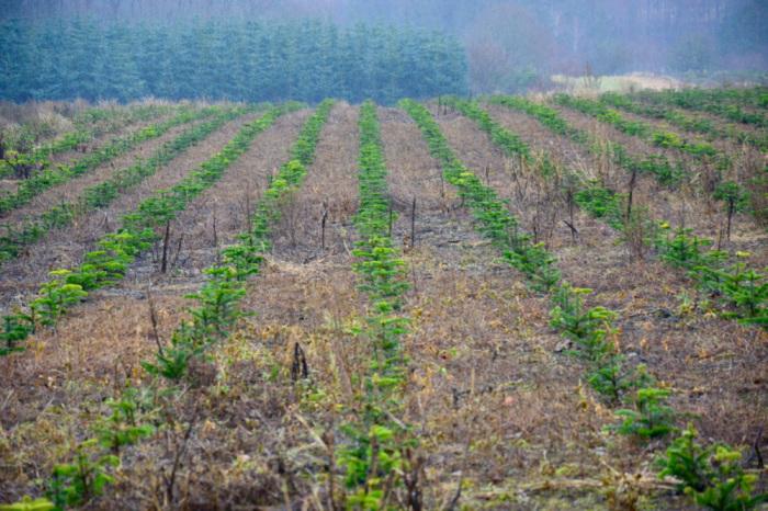 Елки на плантации в Дании. /Фото:varlamov.ru