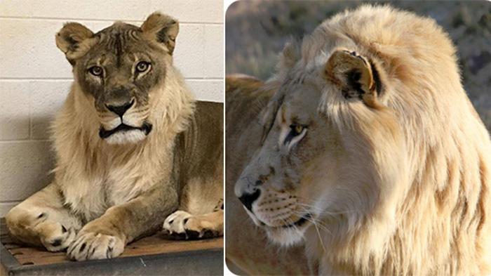 Бриджит из Америки (слева) и Эмма из ЮАР (справа) – львицы с гривами. /Фото:Oklahoma City Zoo and Botanical Garden, nzg.ac.za <br>