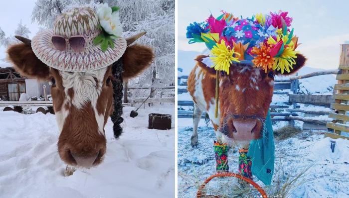 Участyики конкурса красоты cреди коров в Якутии. /Фото:@es_kepsee в Instagram