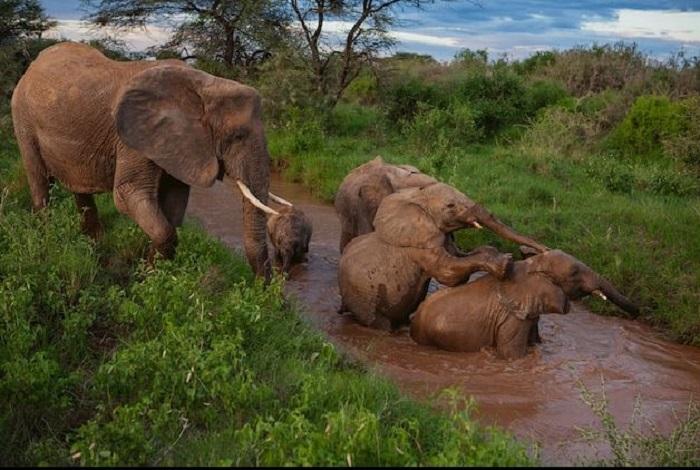 Старшая мать-слониха присматривает за двумя своими детьми и за двумя сиротами, о которых заботится вся её группа. /Фото:Michael Nichos, nationalgeographic.com