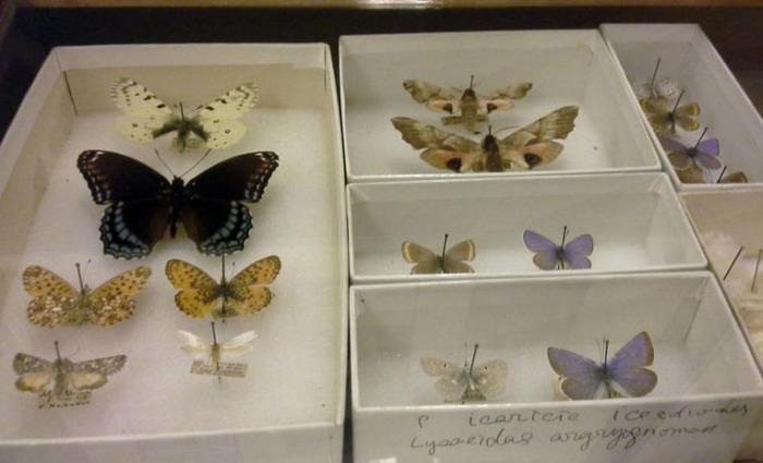 Коллекция бабочек писателя. /Фото:turbina.ru