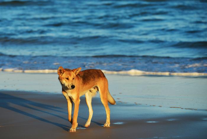 Дикие собаки наносят урон сельскому хозяйству. /Фото:travelandwildlifephotography.com