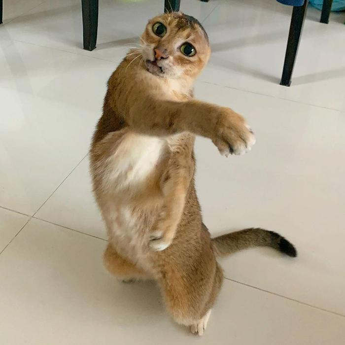 Безухий кот полон сил и энергии.