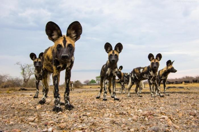 Самые дикие из всех диких собак. /Фото:garynevillegasm.com