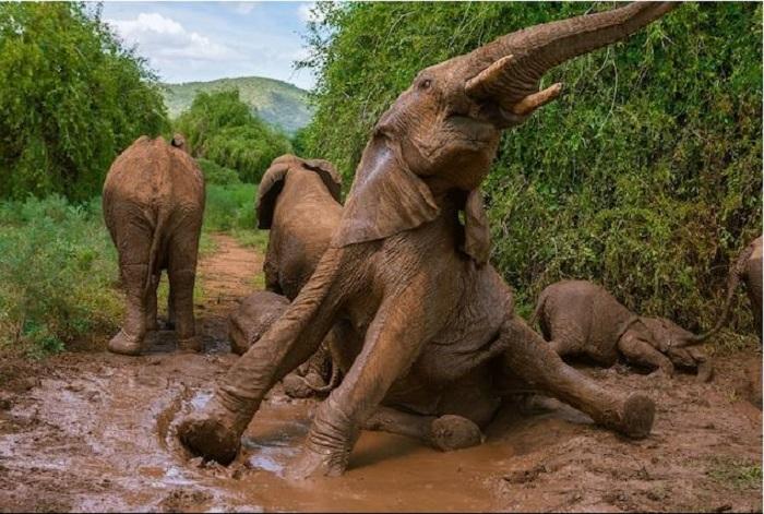 Слоны часто принимают грязевые ванны, чтобы остыть и избавиться от  паразитов. /Фото: Michael Nichos, nationalgeographic.com