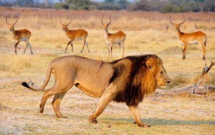 Отличить гривастую львицу от настоящего льва можно лишь при близком рассмотрении. На фото - настоящий самец. /Фото: Донателла Вентури.