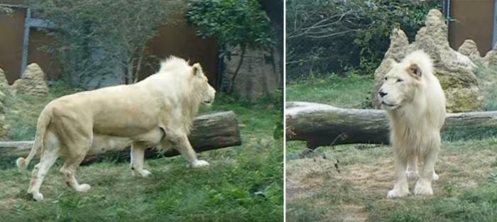 Белая львица из Филадельфии. /Фото: кадры видеосъемки 2008 года.