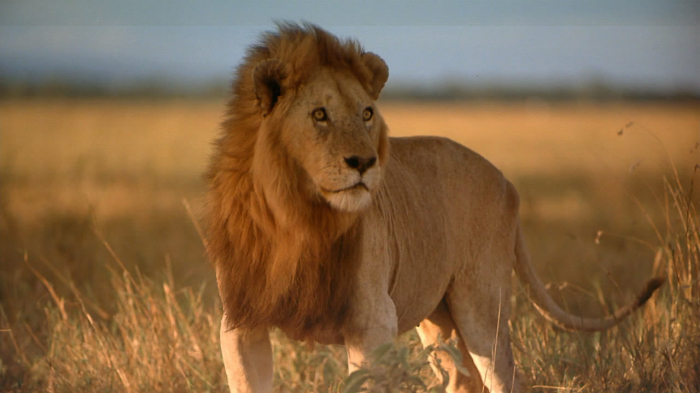 Масайский лев - член так называемой большой африканской пятерки. /Фото:tcc.com.ua