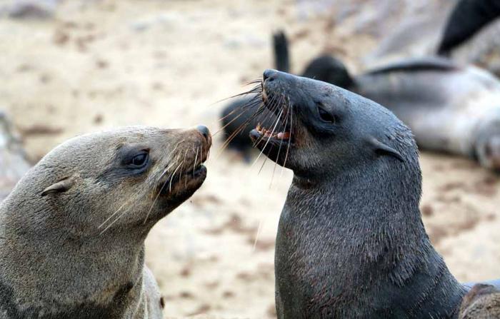 Ушастые тюлени. /Фото:stingynomads.com