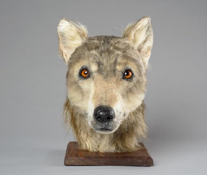 Воссозданная голова пса, который по сути был одомашненным волком.
