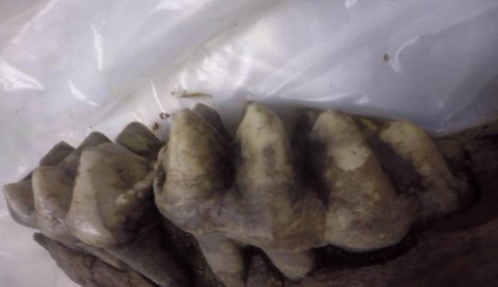 Зубы найденного мастодонта. /Фото:Кадры из телерепортажа whotv.com