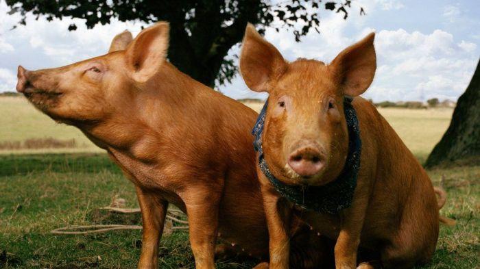 История отважных свиней легла за основу трогательного фильма, который показали по BBC. /Фото: zonahollywood.com