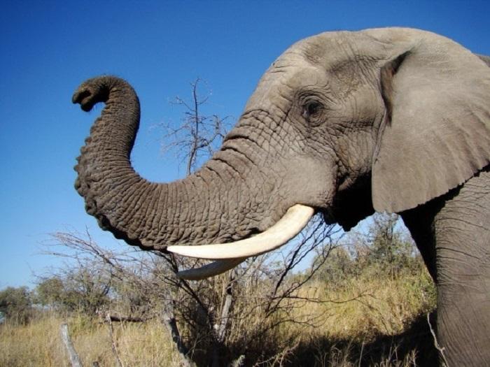 Африканский слон очень умён. /Фото:flickr.com