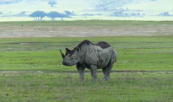 Один из немногих черных носорогов кратера. /Фото:shegdy.ru