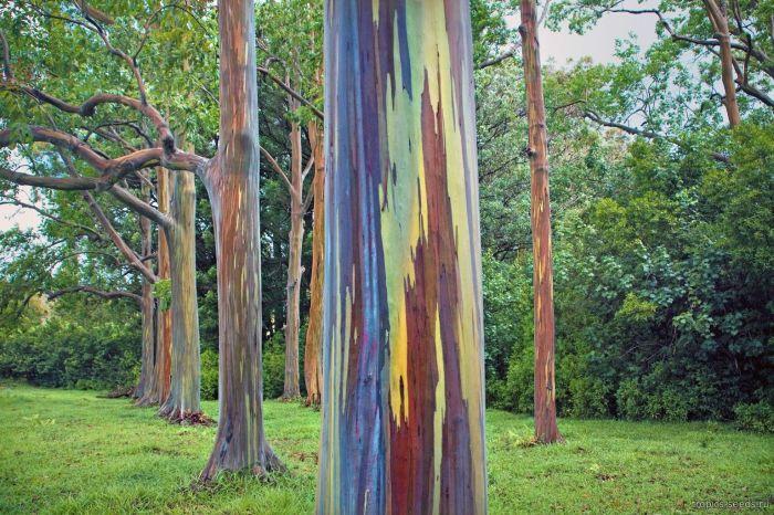 Радужный эвкалипт. От природы разноцветные стволы. /Фото:tropics-seeds.ru