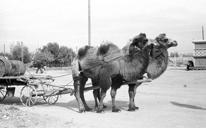 Верблюды в Сталинграде, 1946 г./Фото: Феофилакт Коимшиди, stena.ee