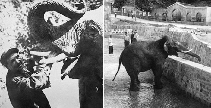 Слон Шанго - питомец зоопарка, который, согласно воспоминаниям работников, активно втаптывал в песок и поливал водой зажигательный бомбы. /Фото:moya-planeta.ru
