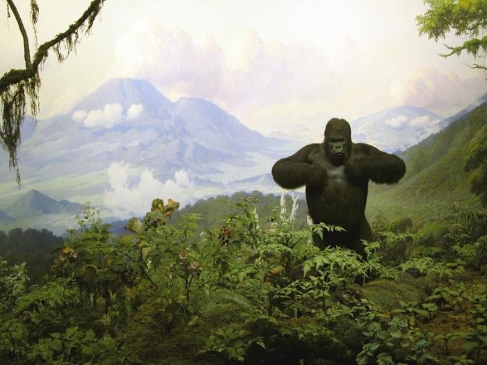 Диорама с гориллой, автор К. Эйкли. Детали необычайно точно воспроизводят дождевой лес. /Фото:wikipedia.org