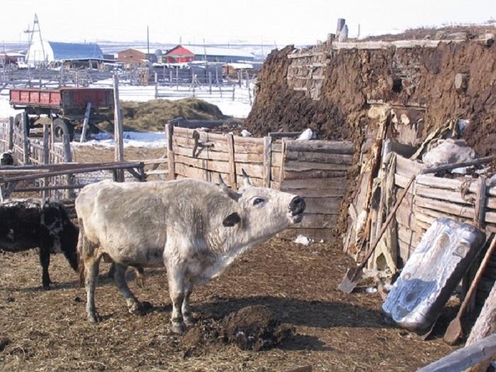 Прекрасных якутских коров стали заменять обычными, которые не так холодостойки, но зато дают много молока. /Фото:Anu Osva,пресс-служба ИЦиГ СО РАН