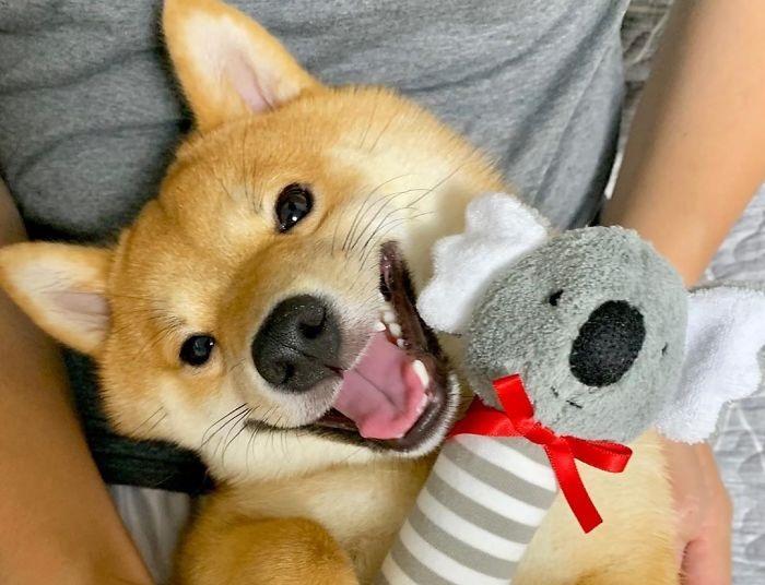 Как очаровательная собака-улыбака из Японии покорила интернет