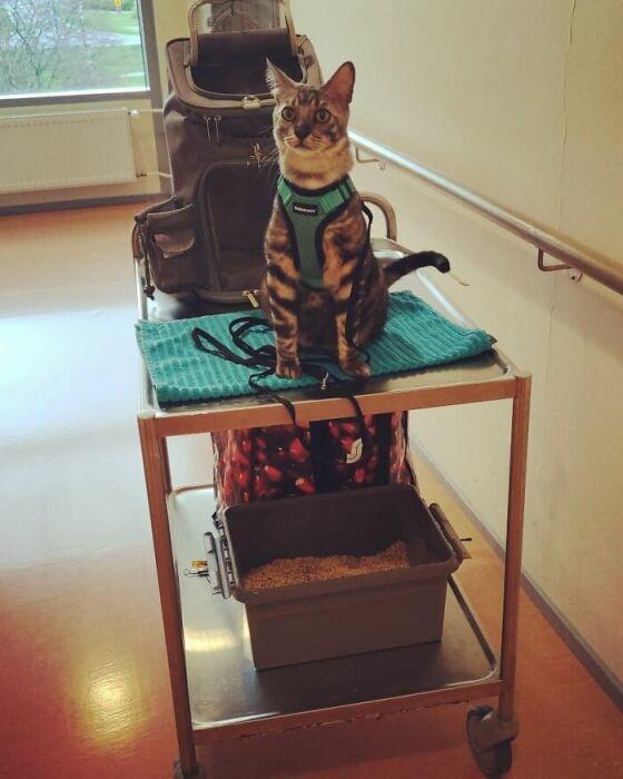 Талантливый и воспитанный кот незаменимый помощник в реабилитации пожилых людей.