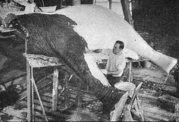Эйкли работает над чучелом Джамбо. /Фото:wikipedia.org