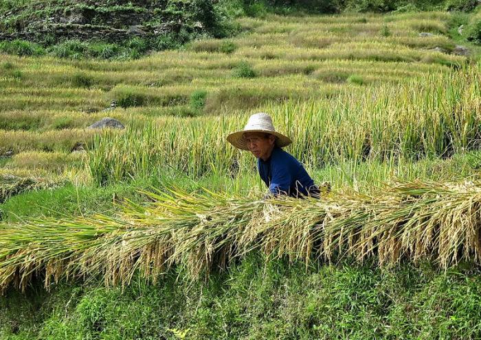 Упорный труд на рисовых полях - вековая традиция. /Фото:awd.ru