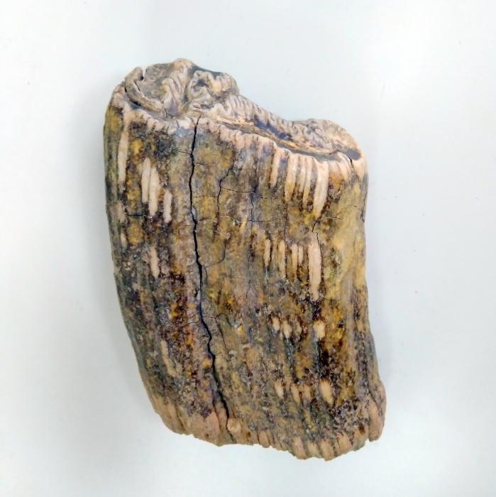 Зуб единорога стал ключом к разгадке существования этих животных.