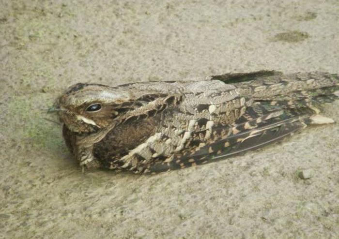 Птицу, которая впала в ступор, можно спокойно взять. /Фото:hauntedindia.blogspot.com