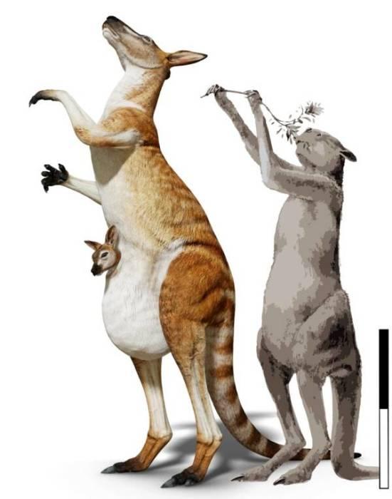 Разница в размерах: короткомордый кенгуру (справа) и недавно обнаруженный вид кенгуру (слева).