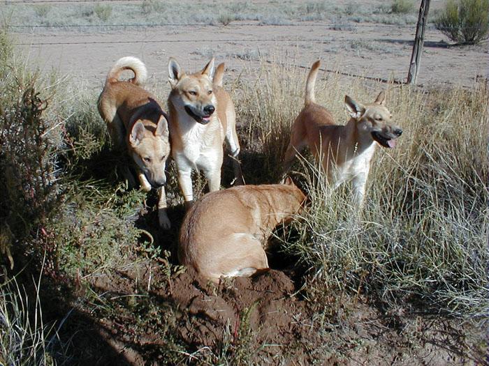 Загадочные дикие собаки из неолита. /Фото:californiacarolinadogs.com