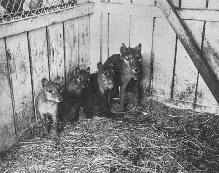 Мать и детеныши в зоопарке Хобарта. Фото 1909 года.