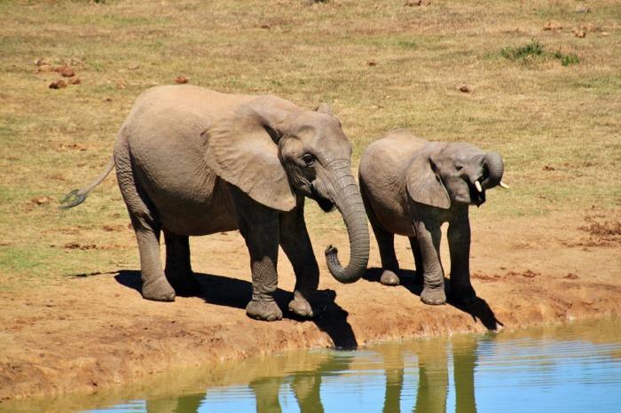 Африканские слоны сплетничают о людях: Исследователь наблюдала за слонами 50 лет и составила энциклопедию звуков и поведения