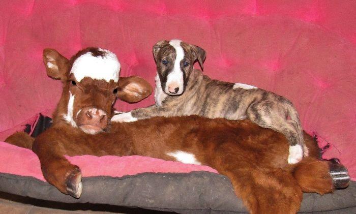 Мунпай на диванчике. Ну чем не собака! /Фото:udivi.li