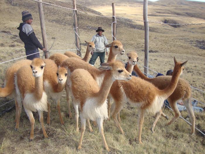 Викуньи в современном Перу. Настоящее чудо! /Фото: vicuna.ru