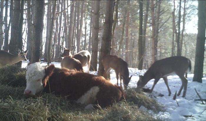 Корова прибилась к оленям. /Фото:goodnewsanimal.ru