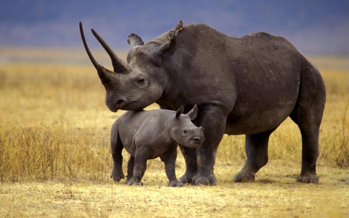 Исследования останков сибирского единорога помогут спасти в том числе и черного носорога, который в данный момент находится на грани исчезновения. /Фото:informator.news