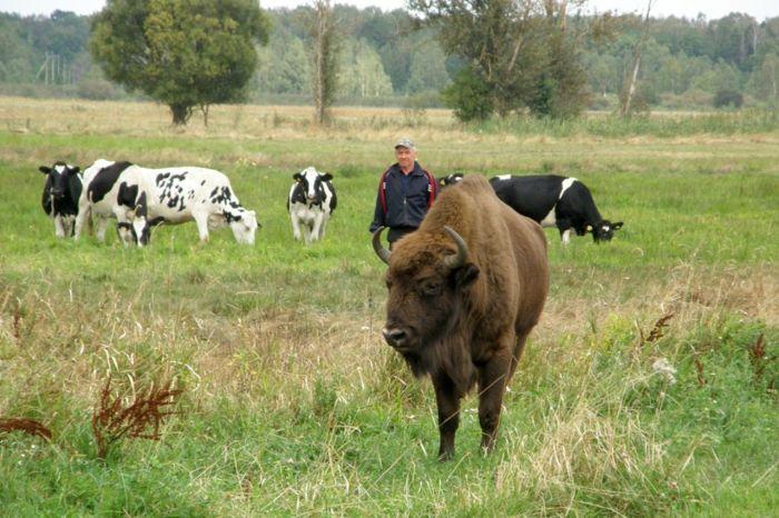 Помимо коров, пастуху пришлось присматривать и за редким животным. /Фото:vse42.ru