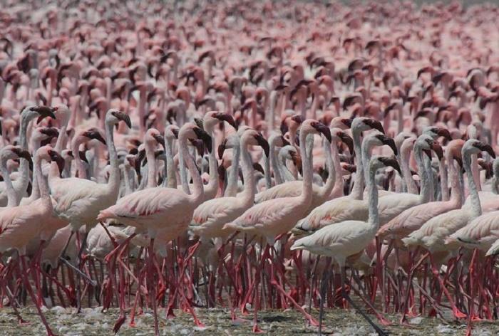 Здесь собираются до двух миллионов фламинго. /Фото:shadowsofafrica.com