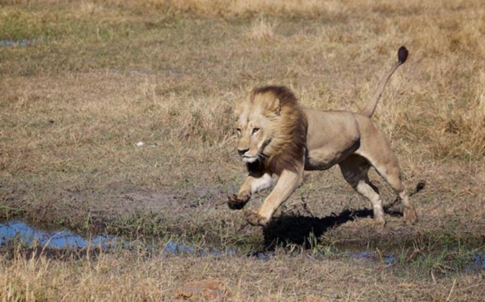 Львицы ведут себя как типичные трансгендеры. /Фото:Deon De Villiers
