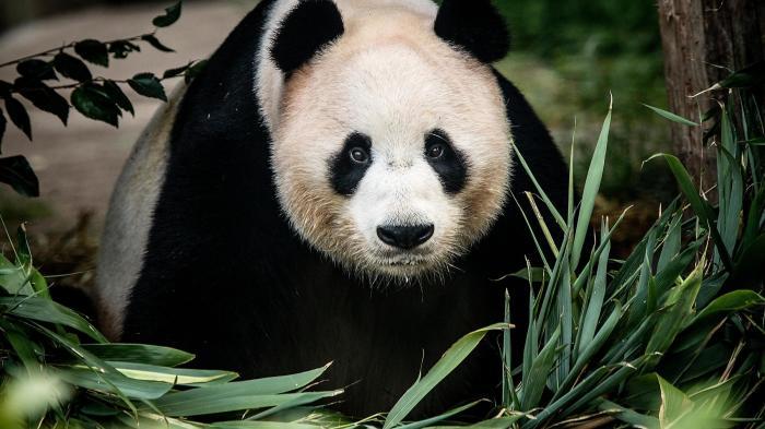 Гигантскую панду клонировать пока не удалось. /Фото:hetimes.co.uk