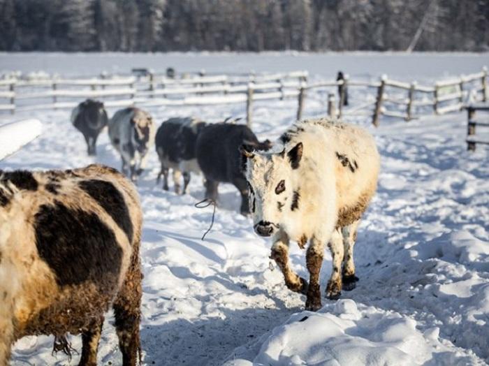 Коровы-полярники запросто могут гулять по снегу часами. /Фото:ramzoo.ru